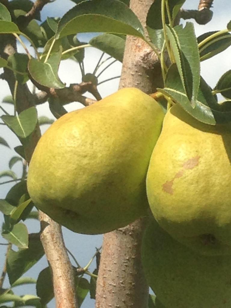 Gourmet Pears
